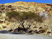 Picture of Acacia Tree
