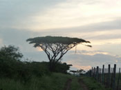 Acacia Tree Picture