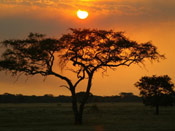 Acacia Tree Pictures