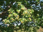 A Chestnut Tree