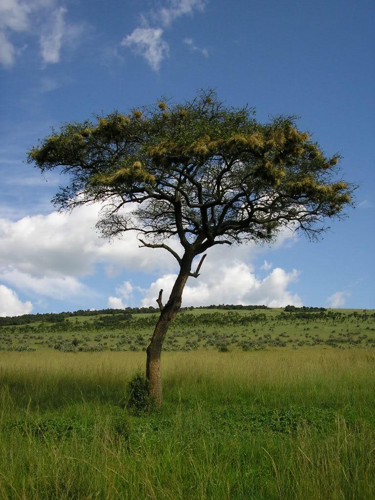 акация дерево фотографиями вырезки