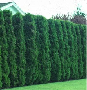 Trees To Use As A Privacy Fence BabyCenter