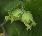 Hazelnut Tree Pictures; American Hazelnut
