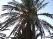 ammar palm tree