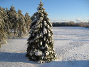 Pine Tree Pictures: A pine tree in Winter