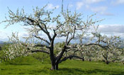 Apple Fruit Tree