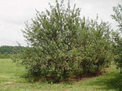Apple Fruit Tree, Image of the Apple Tree