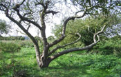 Old Apple Tree