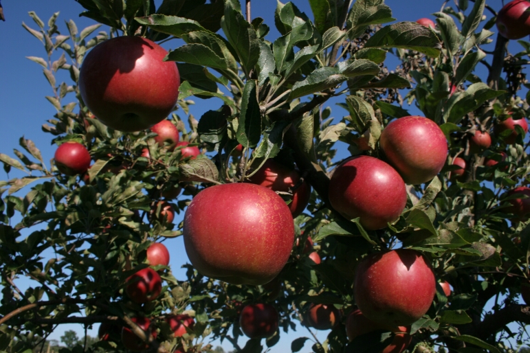 Pictures of Apples