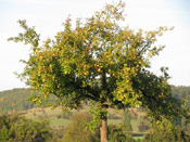 Apple Tree, Picture of an Apple Tree