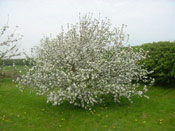 Apple Tree Covered in White Blossom