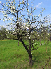 Apple Tree Blooms, Photo of Apple Flowers