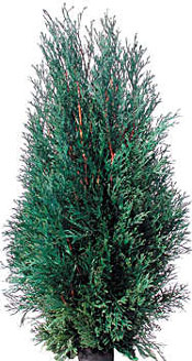 Arborvitae tree species
