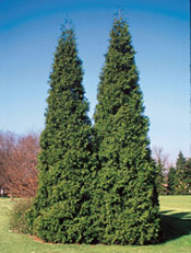 Arborvitae tree picture