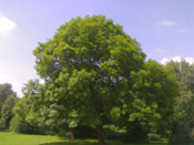 Ash Tree Pictures: Big Ash Tree