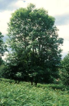 Ash tree pictures 1 ash tree pictures 2 ash tree