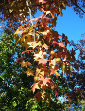 Sutumn Sweetgum; Bild von Sweetgum Bäume Autumn Leaves