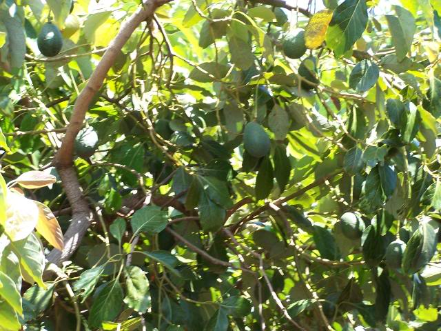 Avocado Tree Pictures Images Photos Facts On Avocado Trees