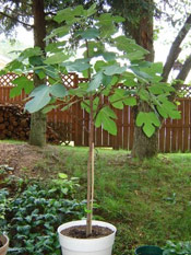 Pictures of Fig Trees: Baby Fig Tree
