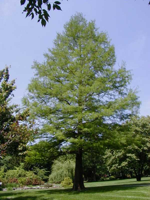 Bald Cypress Tree Pictures 46