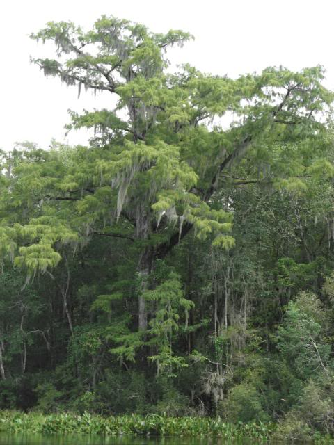 Bald Cypress Tree Pictures 48