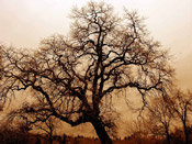 bare oak tree