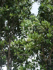 Bay Laurel Tree Branches
