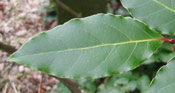 Bay Laurel Tree Leaf