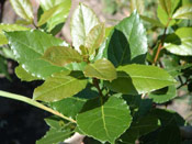 Bay Laurel Tree Leaves