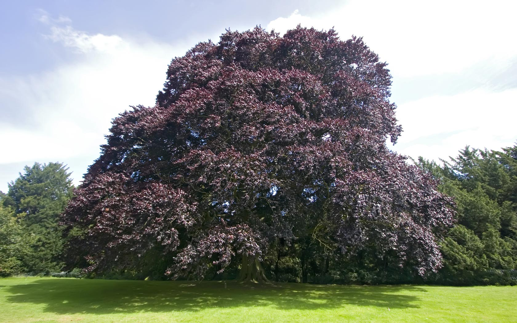 Beech Tree Pictures Photos Images Facts On Beech Trees