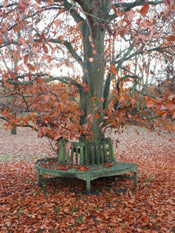 Beech Tree Photo