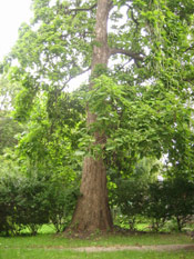 Big Tree Catalpa