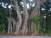 big mangrove tree