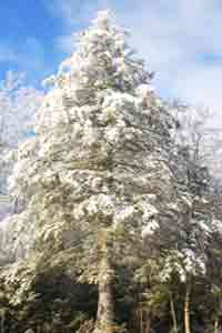 Tree Image, Photo of Big Hemlock Tree
