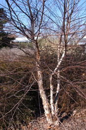 Image Birch Tree