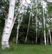 Birch Tree Photo