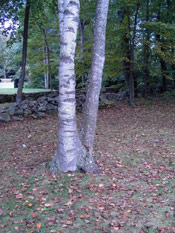 Birch Tree Image