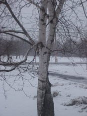 Birch Tree Picture