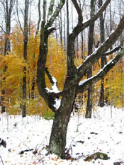 Black Birch Tree