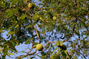 Pictures of Walnut Trees: Black Walnut Tree Kind