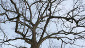 Pictures of Walnut Trees: Black walnut tree