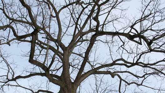 Walnut Tree Pictures, Information on the Walnut Tree Species