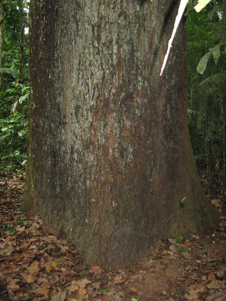 Brazil Nut Tree Pictures, Facts on Brazil Nut Trees