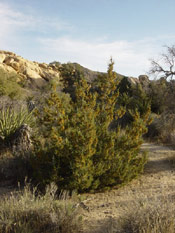 Juniper Tree, Image of California Juniper Tree Type