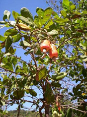 Cashew Tree Fruits