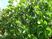 Cashew Tree Picture