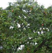 Cashew Tree Photo