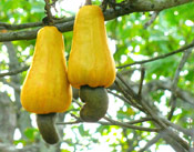 Cashew Tree Nuts
