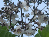 Catalpa Tree Blooms
