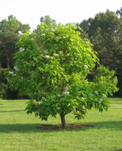 Catalpa Tree Pic